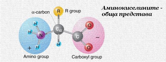 Аминокиселините