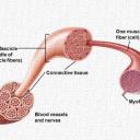 Анатомия на мускулите. Механизъм на мускулното съкращение.