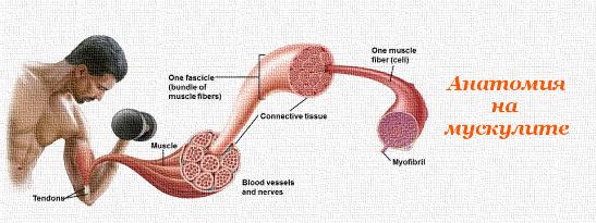 Анатомия на мускулите
