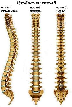 Гръбначен стълб: поглед отстрания (вляво), отпред (в средата) и отзад (вдясно)