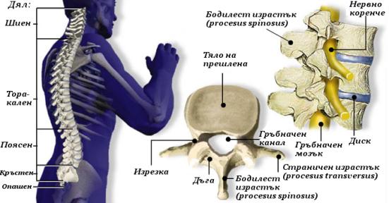 Анатомия на гръбначния стълб