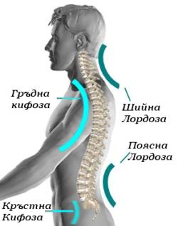 Физиологични извивки на гръбначния стълб