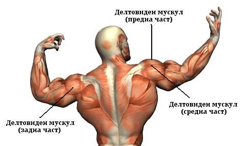 Анатомия на мускулите на рамената