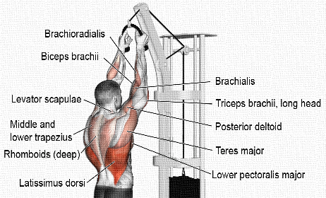 Lat-pull-musles-worked
